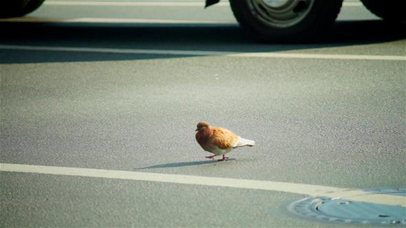 Brave City Pigeon Walking Through Roadway