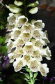 Bell flower plant in a garden of italy - PhotoDune Item for Sale