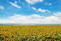 field of sunflowers and blue sky - PhotoDune Item for Sale
