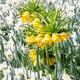 Fritillaria imperialis - PhotoDune Item for Sale