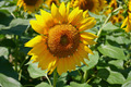"""Plant family Asteraceae sunflower oil - """"Flower of the Sun"""", Helianthus. - PhotoDune Item for Sale"""