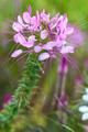 Cleome hassleriana, Spider flower - PhotoDune Item for Sale
