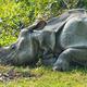 Asian rhino resting - PhotoDune Item for Sale