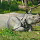 Rhinoceros resting on grass - PhotoDune Item for Sale