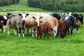 Cows at a pasture in Scotland - PhotoDune Item for Sale