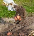 potato harvest - PhotoDune Item for Sale