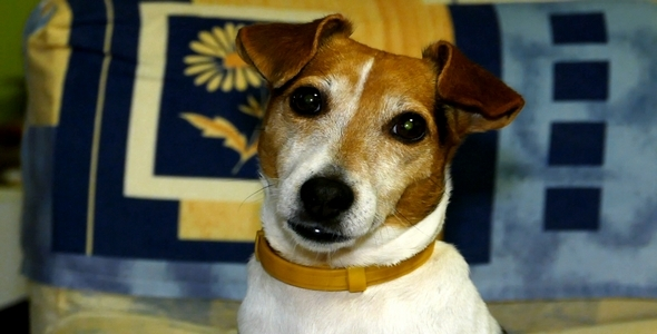 Dog Breed Jack Russell Terrier 3
