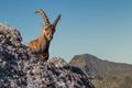 Ibex - PhotoDune Item for Sale