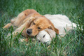 View of two dogs lying - PhotoDune Item for Sale