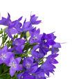 Bellflower - PhotoDune Item for Sale