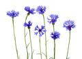 blue cornflower - PhotoDune Item for Sale