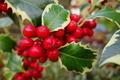 Holly Berries - PhotoDune Item for Sale