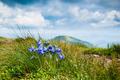 Campanula alpina - PhotoDune Item for Sale