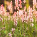 Pink wilflowers - PhotoDune Item for Sale
