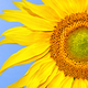 Sunflower on blue sky - PhotoDune Item for Sale