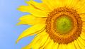 Sunflower on blue sky - PhotoDune Item for Sale