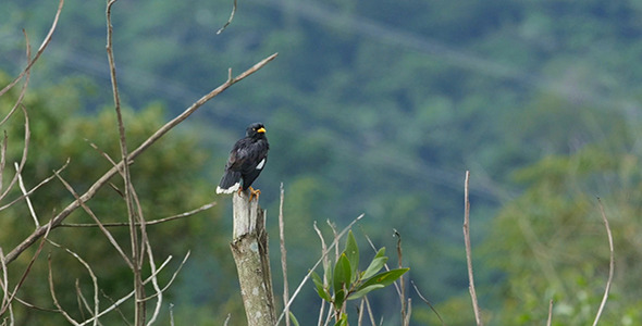 Common Myna Preening