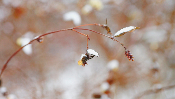 Dry Snowberry Branch Under Snow