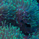 Anemone on a coral reef - PhotoDune Item for Sale