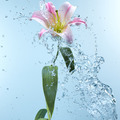 Pink day lily in cool splashing water - PhotoDune Item for Sale