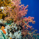 Soft coral (Dendronephthya sp.) - PhotoDune Item for Sale