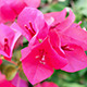 Paper Flower - Bougainvillea Hybrida - VideoHive Item for Sale
