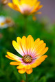 Yellow Daisy Flower - PhotoDune Item for Sale