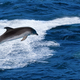 Jumping dolphin - PhotoDune Item for Sale