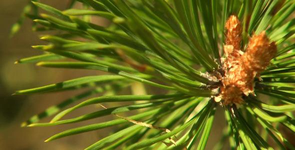 Branch of Spruce 1