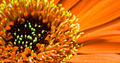 gerbera flower - PhotoDune Item for Sale