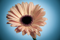 gerbera - PhotoDune Item for Sale