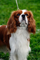 Cavalier King Charles Spaniel - PhotoDune Item for Sale