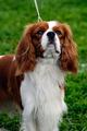 Cavalier King Charles Spaniel - PhotoDune Item for Sale