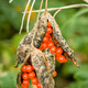 Red berries inside pods on ornamental plant - PhotoDune Item for Sale