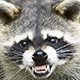 Raccoon_Nasty