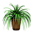 Spider Plant on White  - PhotoDune Item for Sale