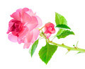 blooming twig of pink Impatiens flowers  is isolated on white ba - PhotoDune Item for Sale