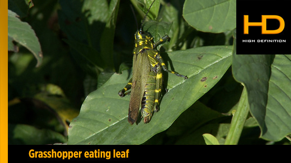 Grasshopper Eating Leaf