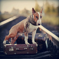 English bull terrier on rails with suitcases. - PhotoDune Item for Sale
