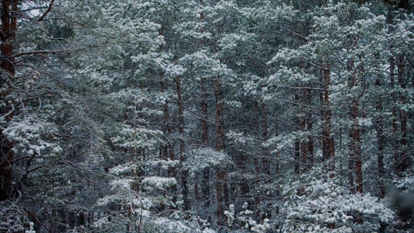 Snowfall In Trunks Of Tall Pines