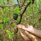 Showing Coffee Beans On Tree By Hand 2 - VideoHive Item for Sale
