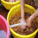 Farmers Washing Collected Coffee Beans - VideoHive Item for Sale