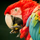 beautiful scarlet macaw parrot eating fruit - PhotoDune Item for Sale