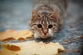 Striped with white a cat and autumn leaves. - PhotoDune Item for Sale