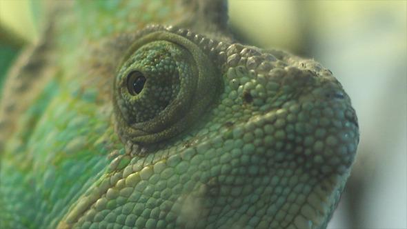 Eyes of Chameleon