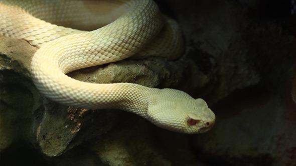 Crotaline Snake