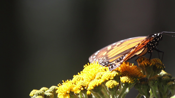 Monarch Butterfly Sanctuary Mexico 7