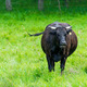 black cow in a green pasture on cattle farm - PhotoDune Item for Sale