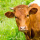 red cow in a green pasture on cattle farm - PhotoDune Item for Sale