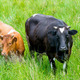 black and red cow in a green pasture on cattle farm - PhotoDune Item for Sale